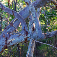 Twisted limbs of a scribbly gum.