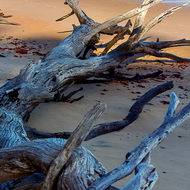Fallen tree, perhaps too large to be driftwood, on the seashore at low tide.