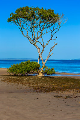 Thumbnail image ofSingle mangrove tree and many root protrusions...
