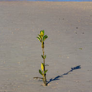Young mangrove tree sprouts on the beach.