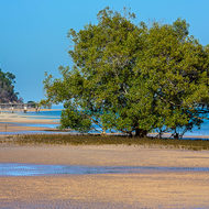 Mangrove tree stands in front of abandoned McKenzie's jetty.