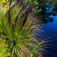 Reeds and grasses reflected in a lagoon.