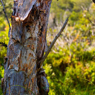 Trunk of a paperbark tree.