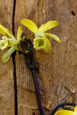 Thumbnail image ofFlowers of a Black Bootlace Orchid, erythrorchis...