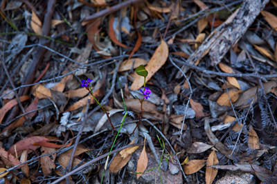 Thumbnail image of Tiny wild flower emerges from the forest floor.
