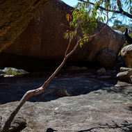 Small eucalypt angles itself away from the overhanging rock formation.