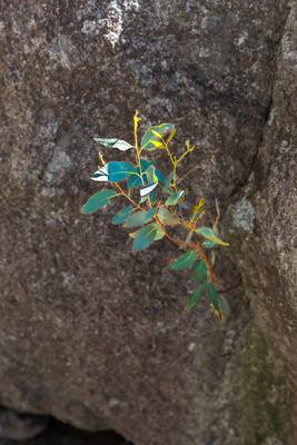 Thumbnail image ofA small eucalypt grows from an even smaller crack...