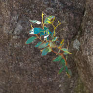 A small eucalypt grows from an even smaller crack in a granite boulder.