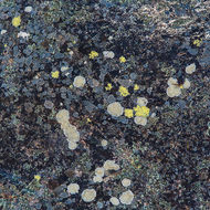 Lichen on granite.