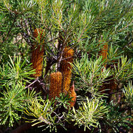 Bottlebrush bush, banksia.