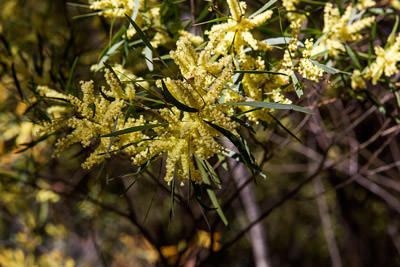 Thumbnail image of The green and gold of wattle, acacia.