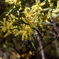 The green and gold of wattle, acacia.