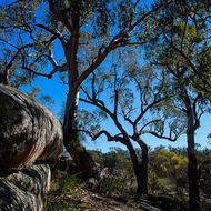 Gum tree, eucalypt, appears to be leaning on the rocks for support.