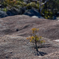 Like a bonsai, small tree grows in a depression in the granite.