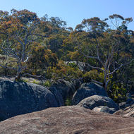 Eucalypts and grasses established on the granite basement.