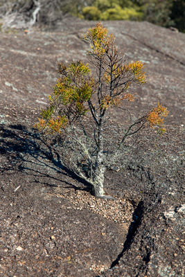 Thumbnail image ofLike a bonsai, small tree grows in a depression...