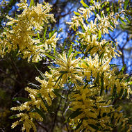 Green and gold of wattle flowers.