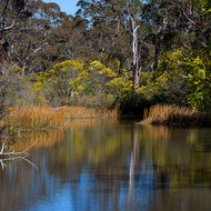 Wattles and gums over Dr Roberts Waterhole on Bald Rock Creek.