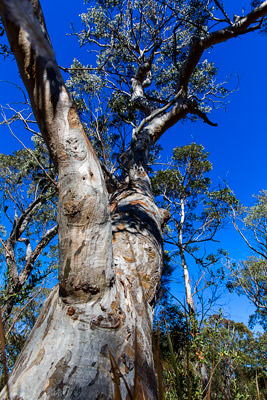 Thumbnail image of Gnarled and twisted gum tree reaching for the...