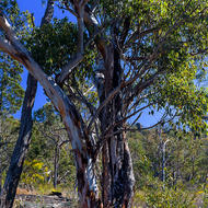 Gum tree on granite.