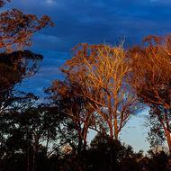 The last rays of the setting sun catch the eucalypts.