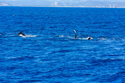 Thumbnail image ofNot far off shore, a pair of humpback whales swimming...