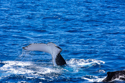 Thumbnail image ofTail fluke of one humpback whale as another one...