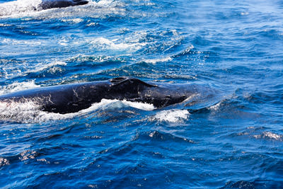 Thumbnail image ofTwin blow holes of a humpback whale sucking in...