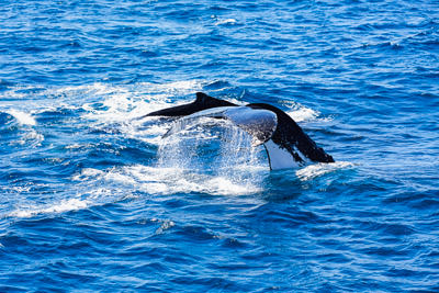 Thumbnail image ofA fin wave from a humpback whale before a deep...