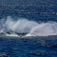 Several tonnes of breaching humpback whale leaves an impression in the ocean.