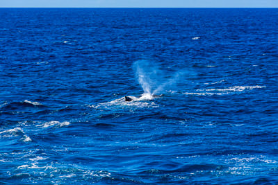 Thumbnail image of Distinctive twin spray of a humpback whale.