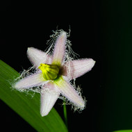 Front view of a tiny hairy petalled flower in the forest.