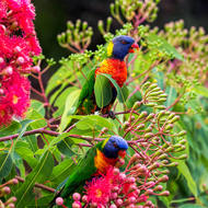 Rainbow Lorikeet feeding on a flowering gum.