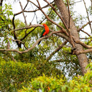 King parrot looking around.