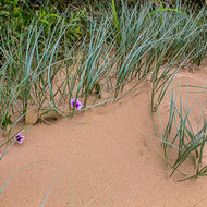Grasses and flowers of the dunes.