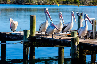 Thumbnail image of Pod of pelicans lined up on a jetty on Noosa River.