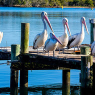 Pod of pelicans lined up on a jetty on Noosa River.