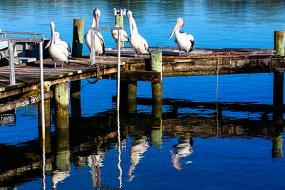 Thumbnail image ofPod of pelicans meeting to discuss the coming...