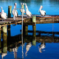 Pod of pelicans meeting to discuss the coming day on Noosa River.
