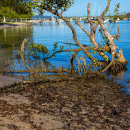 Mangrove and jetty at low tide on Noosa River.