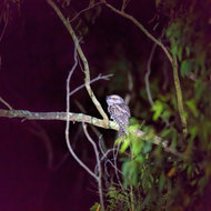 Tawny Frogmouth, podargus strigoides, at night.