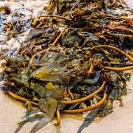 Tangle of kelp at low tide on Nambucca beach.