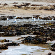 Seagulls expecting something tasty in the kelp on Nambucca beach.