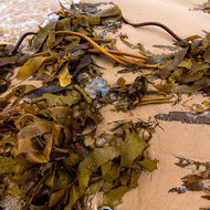 Kelp and remnants of a jellyfish on Nambucca beach.