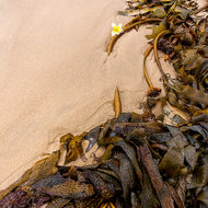 Kelp and a solitary frangipani flower on Nambucca beach.