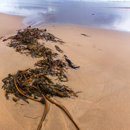 Lead in lines: beached kelp points to offshore storm.