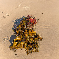 Beached kelp, early morning.