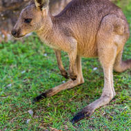 Young kangaroo, ears to the alert, within the jail walls.