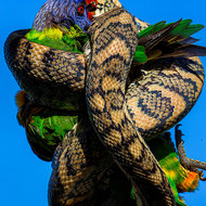 The lorikeet pecks feebly at the python.  Carpet python, morelia spilota vs Rainbow lorikeet, trichoglossus heamatodus.