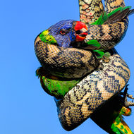 Just about the last gasp as blood is drawn.  Carpet python, morelia spilota vs Rainbow lorikeet, trichoglossus heamatodus.